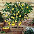 Dwarf Meyer Lemon Citrus Tree