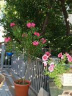oleander now