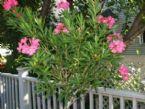 oleander well