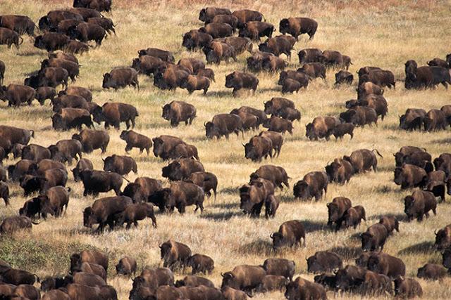 http://curezone.com/upload/Art/bison2.jpg