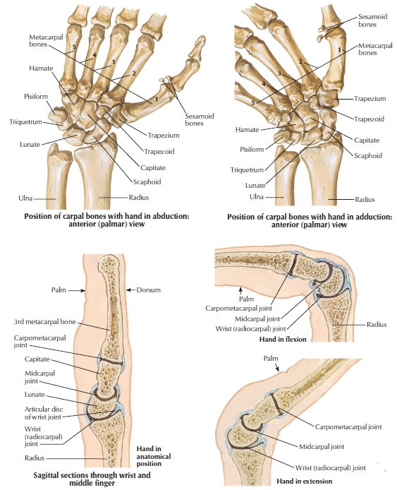 Anatomy Of Arthritis Image collections - human body anatomy