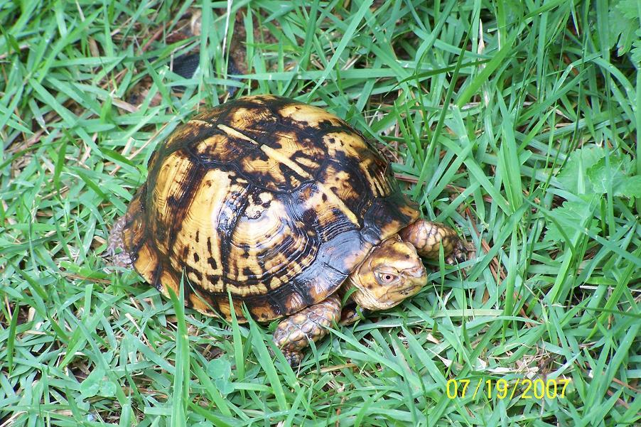 GA turtle in back yard