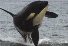 Killer Whale jumping