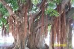 Banyon Tree 3