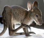 baby kangaroo 5