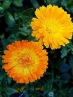 Pot marigold extract