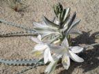 desert lily 2