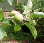 apple x 2