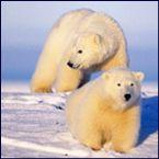 arctic animal polar bears