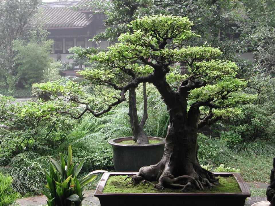http://curezone.com/upload/Members/New02/bonsai.jpg