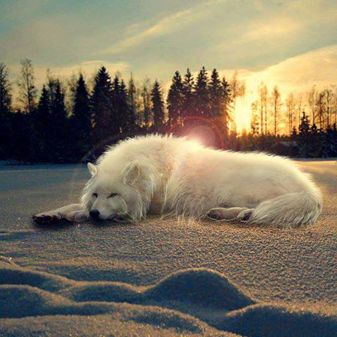 White Wolf laying down1 On CureZone Image Gallery  White Wolf layi...