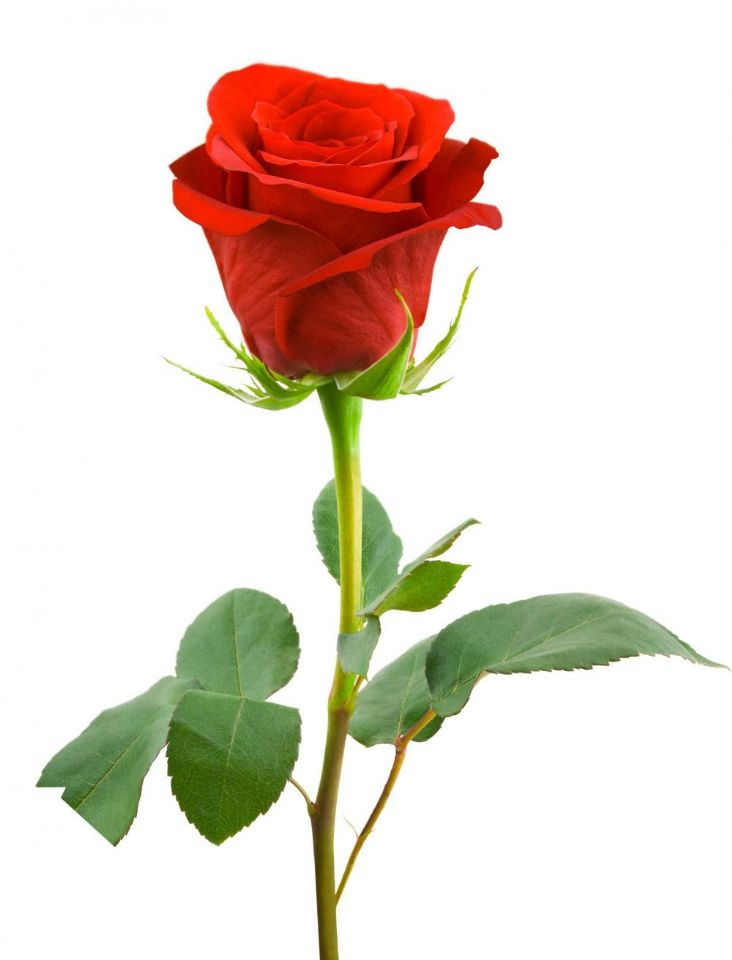 red rose ... (Click to enlarge)