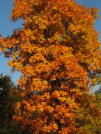 Hickory in the Fall