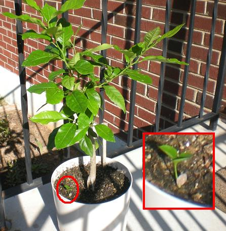 The most rated images at curezone image gallery for When to transplant lemon tree seedlings