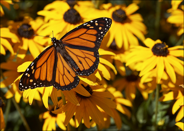 butterfly yellow flowers 01 ... (Click to enlarge)