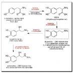 Catecholamines1