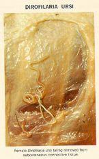 dirofilaria ursi image1l