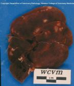 echinococcis multilocularis Cysts in the liver of a muskrat