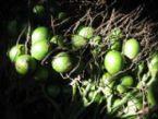 Betel frsh fruit