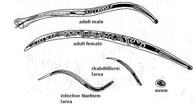 https://www.curezone.org/upload/Parasites/Forum_01/Hookworm_stages.jpg