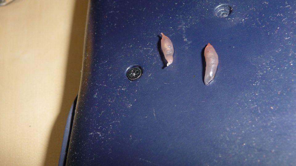 Flea Larvae Eggs from a worm/paras...