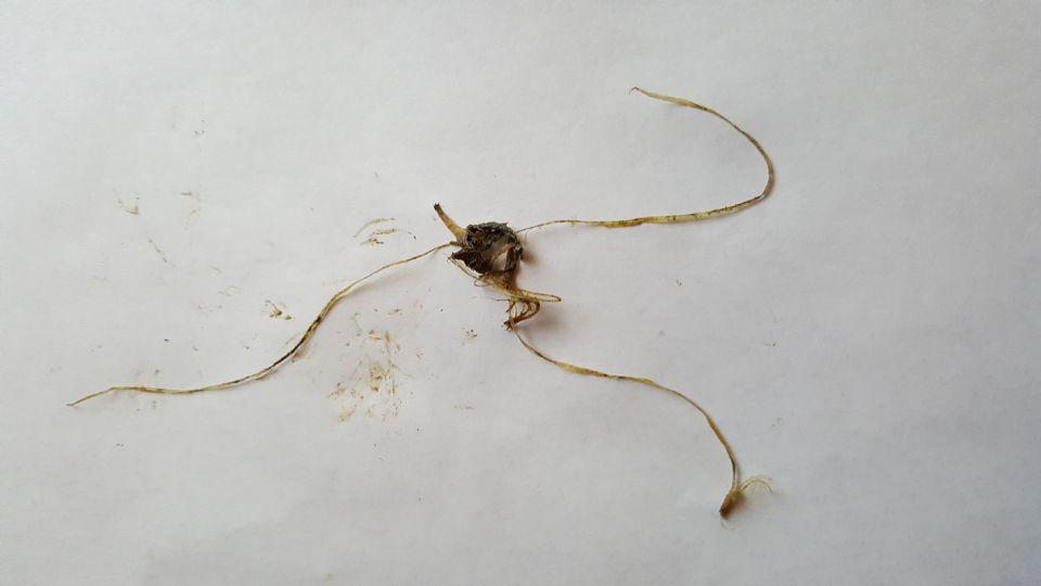 http://curezone.com/upload/Parasites/Forum_01/Parasites41.jpg
