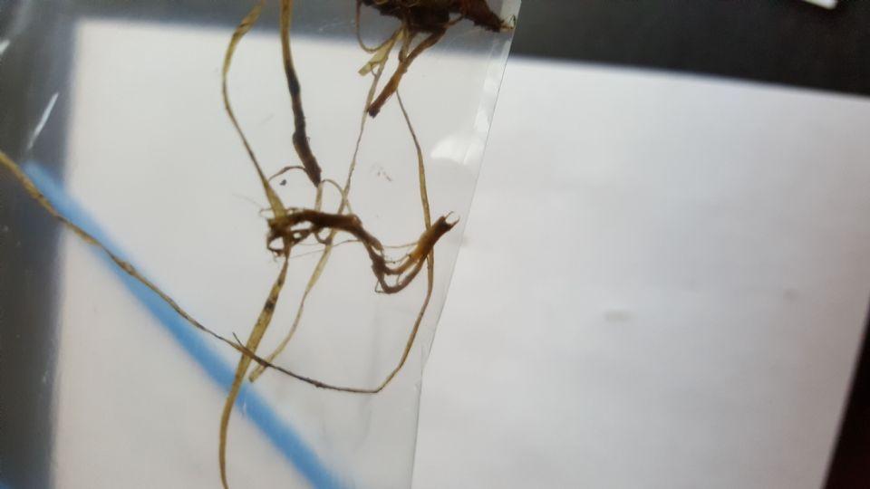 http://curezone.com/upload/Parasites/Forum_01/Parasites7_in_baggie.jpg