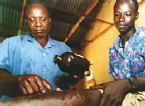 Guinea  worm, People infected with parasite