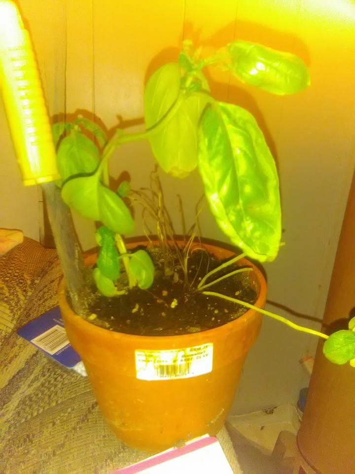 http://curezone.com/upload/Parasites/basil_plant.jpg