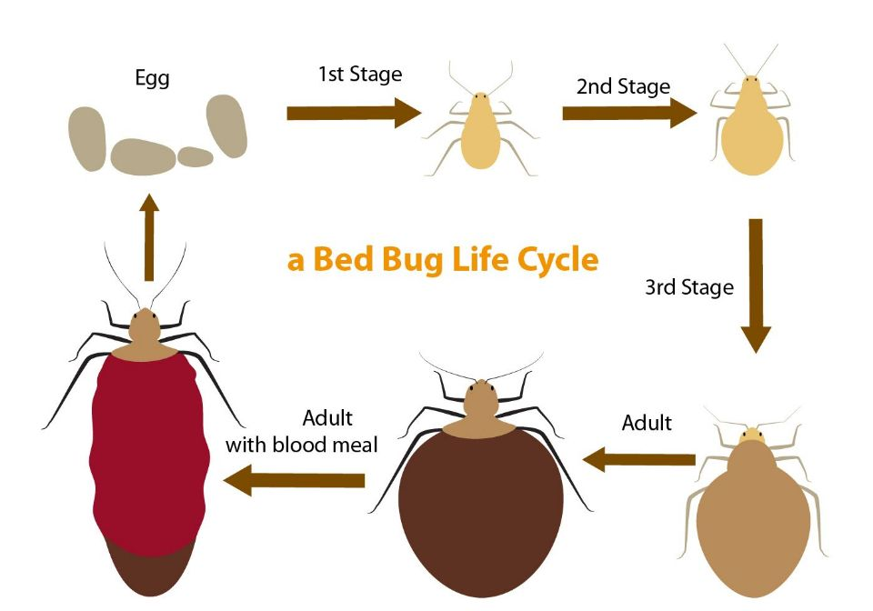 http://curezone.com/upload/Photos/Injuries/Bite/bed_bug_life_cycle_vector.jpg
