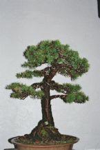 Bonsai, Traditional Japanese Art