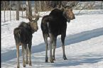 Moose on move