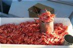 Fresh Shrimps at Oslo Harbor (Rådhus plassen)