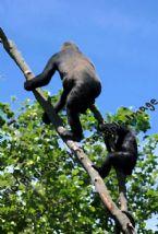428 gorillas