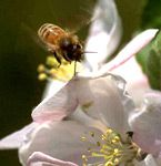 bee apple