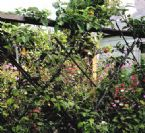 dwarf apple living fence