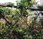dwarf apple living fence