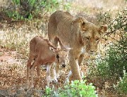 http://curezone.com/upload/_A_Forums/Ask_Tony_Isaacs/lion_mother_and_calf_baby.jpg