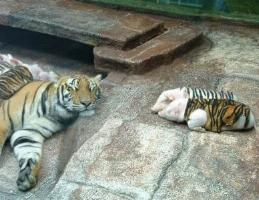 http://curezone.com/upload/_A_Forums/Ask_Tony_Isaacs/tiger_and_piglets_05.jpg