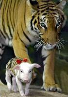 http://curezone.com/upload/_A_Forums/Ask_Tony_Isaacs/tiger_and_piglets_06.jpg