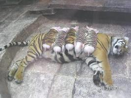 http://curezone.com/upload/_A_Forums/Ask_Tony_Isaacs/tiger_and_piglets_07.jpg