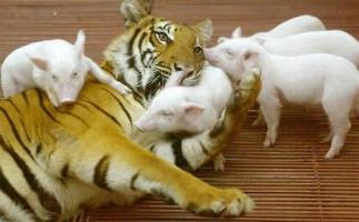http://curezone.com/upload/_A_Forums/Ask_Tony_Isaacs/tiger_and_piglets_08.jpg