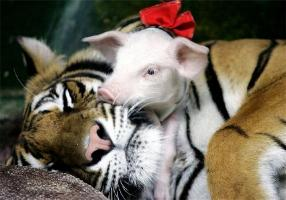 http://curezone.com/upload/_A_Forums/Ask_Tony_Isaacs/tiger_and_piglets_10.jpg