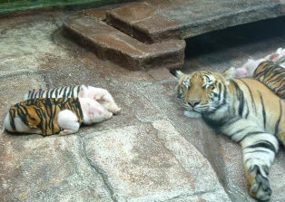http://curezone.com/upload/_A_Forums/Ask_Tony_Isaacs/tiger_and_piglets_12.jpg