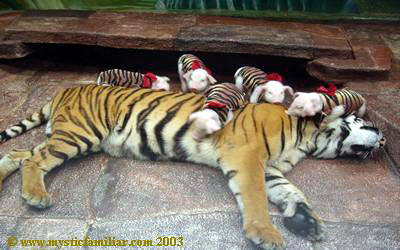 http://curezone.com/upload/_A_Forums/Ask_Tony_Isaacs/tiger_mother_love_piglets.jpg