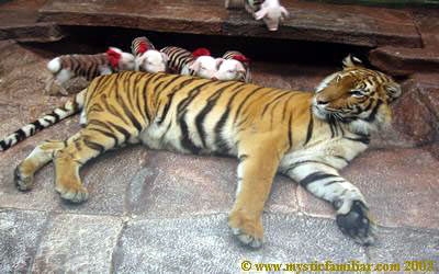 http://curezone.com/upload/_A_Forums/Ask_Tony_Isaacs/tiger_mother_love_pigs.jpg