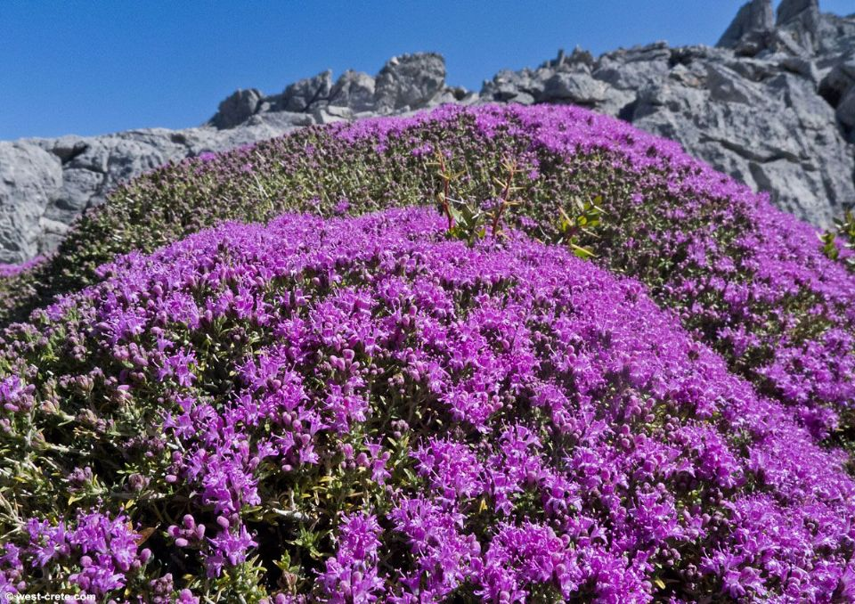 wild thyme medicine for asthma lung infection Chronic Bronchitis walki
