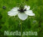nigella sativa/black seeds