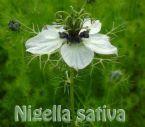 nigella sativa/black seeds