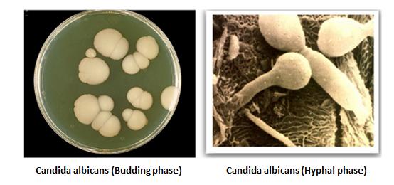http://curezone.com/upload/_C_Forums/Candida/Candida_Albicans_morphology.png